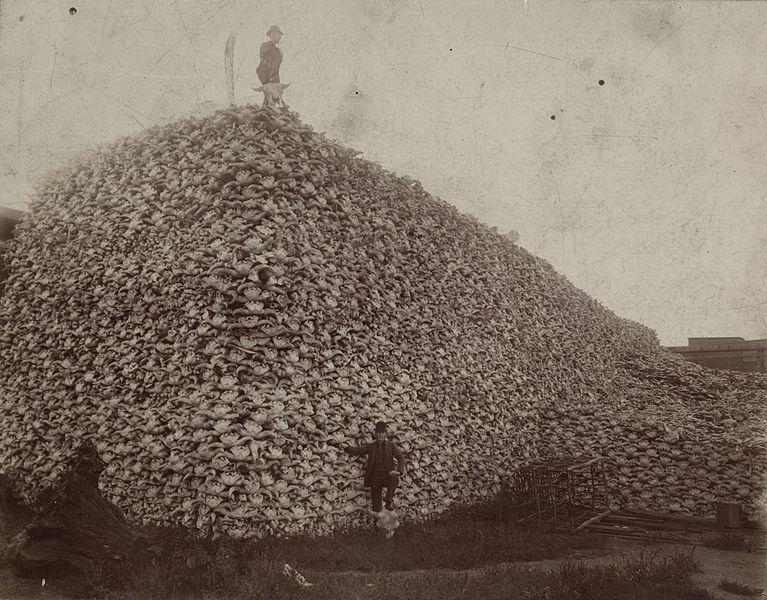 "Buffalo Skull Pile, circa 1892. Buffalo bones were processed for use in glue, fertilizer, dye/tint/ink, or were burned to create ""bone char,"" a component in sugar refining"