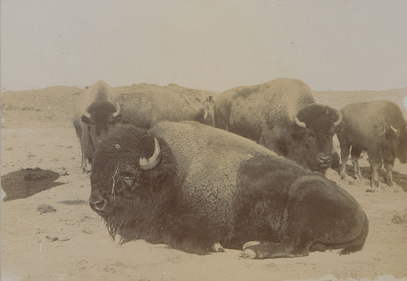 The last of the Canadian buffaloes, 1902